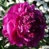 Paeonia suffruticosa 'Souvenir de Ducher' -- Strauchpfingstrose