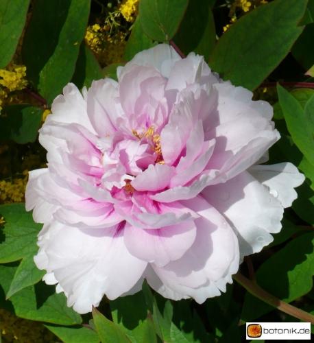 Paeonia suffruticosa 'Madame de Vatry' -- Strauchpfingstrose