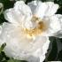 Paeonia suffruticosa 'Colorado' -- Strauchpfingstrose