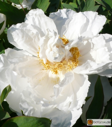 Paeonia suffruticosa 'Colorado' -- Strauchpfingstrose