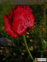 Papaver bracteatum -- Armenischer Mohn