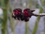Parrotia persica -- Eisenholzbaum