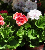 Pelargonium grandiflorum -- Edelpelargonie