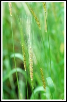 Triticum carthlicum -- Persischer Weizen