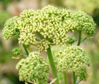 Petroselinum crispum -- Petersilie (Blütenstand)