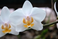 Phalaenopsis 'Paper Doll'
