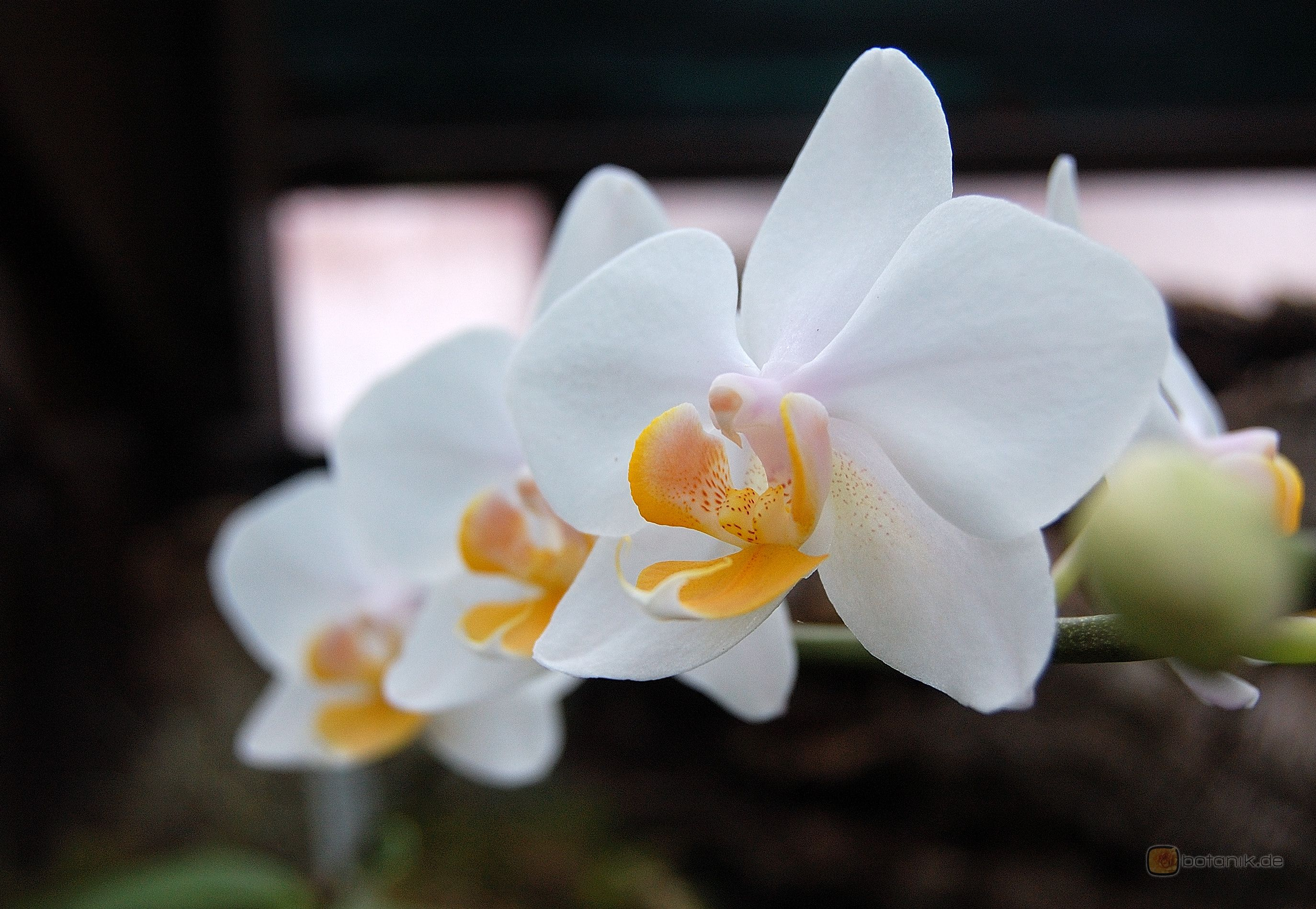 Phalaenopsis Paper Doll