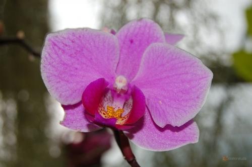 Phalaenopsis Wedding Promenade