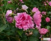Rosa Rugosa -- Japan-Rose