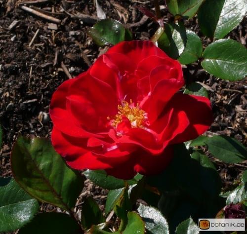 Polyantha Hybride 'Gruss an Bayern'