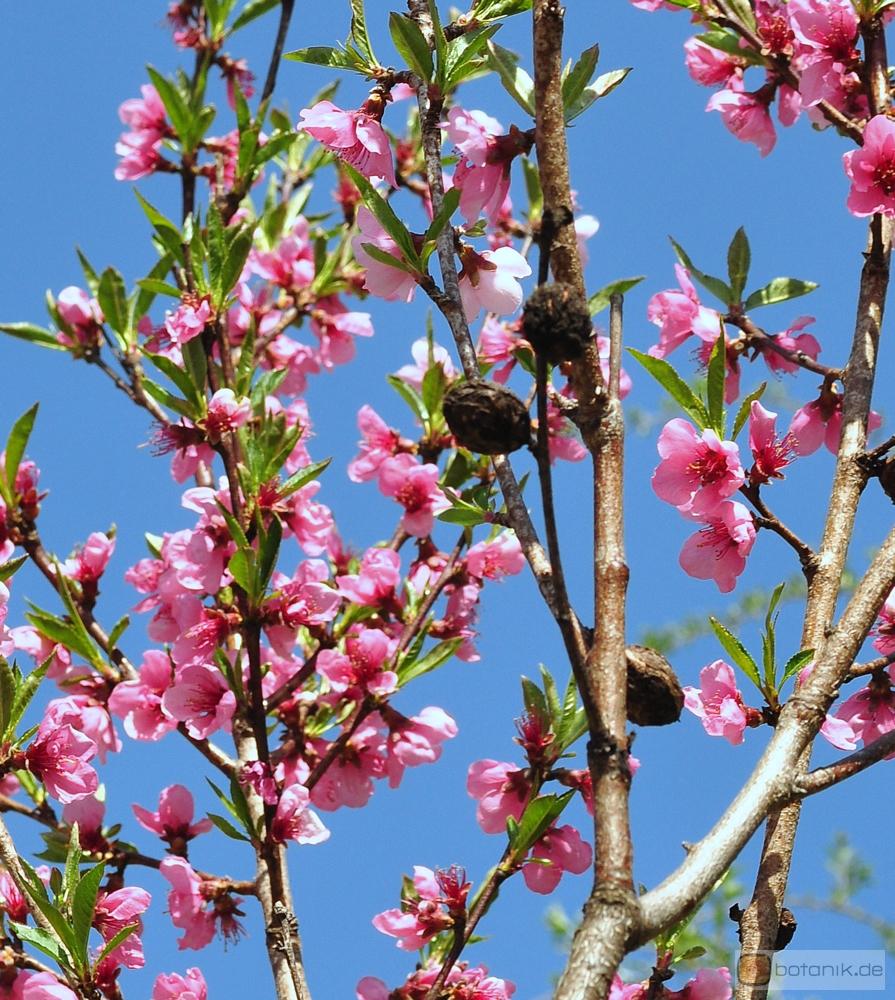 prunus persica 39 nectarina 39 nektarinenbaum garten. Black Bedroom Furniture Sets. Home Design Ideas