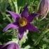 Pulsatilla vulgaris -- Gewöhnliche Kuhschelle
