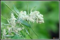 Chenopodium quinoa -- Quinoa