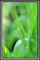 Triticum turgidum -- Rauweizen