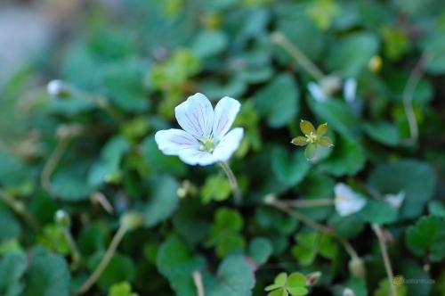 Erodium reichardii Alba -- Balearen-Reiherschnabel Alba