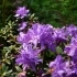 Rhododendron impeditum