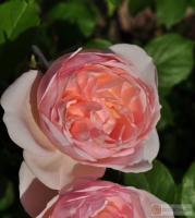 Rosa 'The Shepherdess' -- Englische Rose 'The Shepherdess'