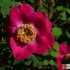 Rosa moschata 'Andenken an Alma d aigle'