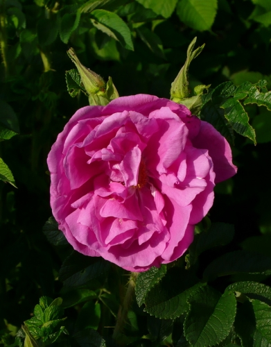 Rosa rugosa 'Appart' -- Japan-Rose