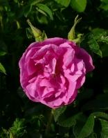 Rosa rugosa 'Appart' -- Japan-Rose