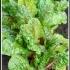 Beta vulgaris subsp. vulgaris -- Mangold