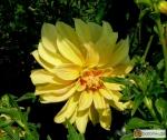 Schmuck Dahlie 'Gelbe Giraffe'