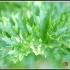 Apium graveolens var secalinum -- Würzsellerie