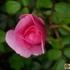 Rosa 'Schöne Dortmunderin' -- Rose 'Schöne Dortmunderin'