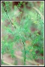 Asparagus officinalis 'Purple Jumbo' -- Disa uniflora