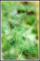 Asparagus officinalis 'Purple Jumbo' -- Spargel 'Purple Jumbo'