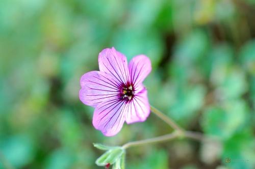 Geranium cinereum 'Lambrock' -- Steingarten Storchschnabel