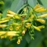 Nicotiana glauca -- Strauchtabak