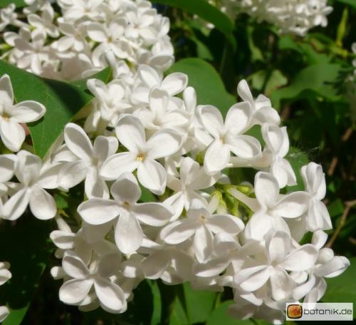 syringa vulgaris weisser flieder garten pflanzen blumen gartenbetriebe g rtnereien. Black Bedroom Furniture Sets. Home Design Ideas