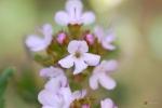 Thymus vulgaris -- echter Thymian
