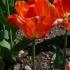Tulipa 'American Dream' -- Tulpe 'American Dream'