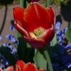 Tulipa 'Atlantis' -- Tulpe 'Atlantis'