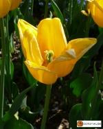 Tulipa 'Bellona' -- Tulpe 'Bellona'