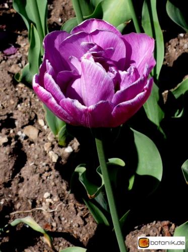 Tulipa Blue Diamond