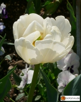 Tulipa Casablanca