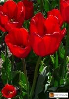 Tulipa Cassini
