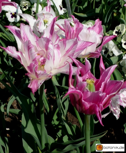 Tulipa Double Sensation