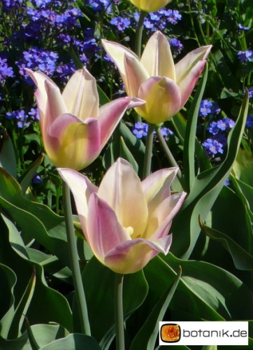 Tulipa Elegant Lady