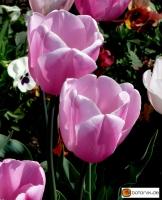 Tulipa Esther