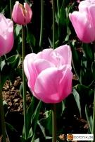 Tulipa Esther --