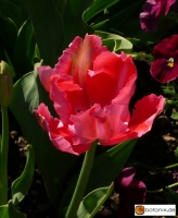 Tulipa Fantasy