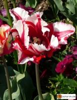 Tulipa Flaming Parrot