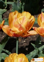 Tulipa Freeman