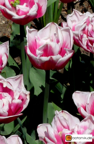 Tulipa Gerbrand Kieft