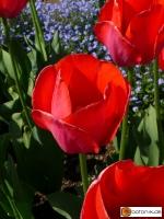 Tulipa Gordon Cooper