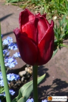 Tulipa Henry Dunant